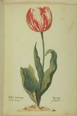 Admiral Verijck (van der Eijck), an extinct Dutch broken tulip from 1637