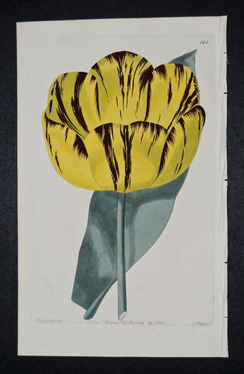 Albion Tulip - an extinct English Florists tulip.