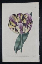 Alexandrina Tulip