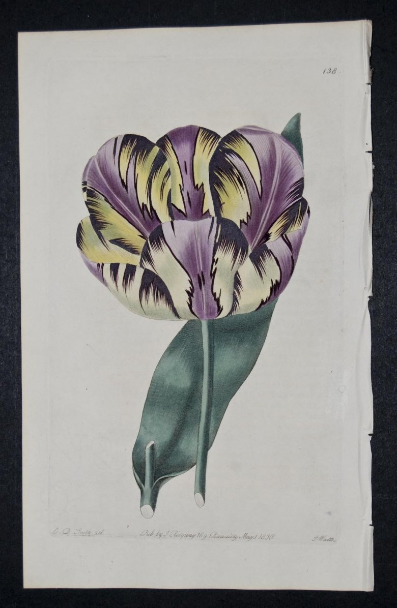 Alexandrina Tulip - an extinct English Florists tulip.
