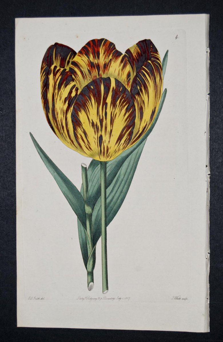 Bataille d'Eyleau Tulip - an Extinct English Florists tulip.