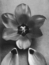 Fig. 10 from the Report of the Tulip Nomenclature Committee, 1914-15: Cottage Tulip � Coronation Scarlet.