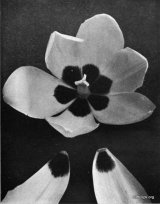 Fig. 11 from the Report of the Tulip Nomenclature Committee, 1914-15: Cottage Tulip � Strangulata Primulina.