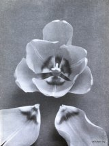 Fig. 12 from the Report of the Tulip Nomenclature Committee, 1914-15: Darwin Tulip � Prof. Rawenhof.