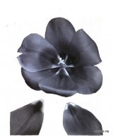 Fig. 14 from the Report of the Tulip Nomenclature Committee, 1914-15: Darwin Tulip � Purple King.