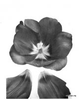 Fig. 15 from the Report of the Tulip Nomenclature Committee, 1914-15: Darwin Tulip � Berthold Schwartz