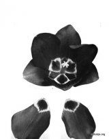 Fig. 16 from the Report of the Tulip Nomenclature Committee, 1914-15: Darwin tulip � Auber.