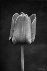 Fig. 19 from the Report of the Tulip Nomenclature Committee, 1914-15: Darwin Tulip �Bleu Aimable.