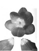 Fig. 20 from the Report of the Tulip Nomenclature Committee, 1914-15: Darwin Tulip � Europe, base white.
