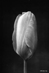 Fig 3 from the Report of the Tulip Nomenclature Committee. 1914-15: Cottage Tulip � John Ruskin.