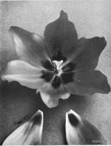 Fig. 5 from the Report of the Tulip Nomenclature Committee, 1914-15: Cottage tulip � Gesneriana Spathulate.