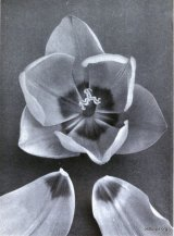 Fig. 6 from the Report of the Tulip Nomenclature Committee, 1914-15; Darwin Tulip - Sieraad van Flora