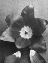 Fig. 7 from the Report of the Tulip Nomenclature Committee, 1914-15: Cottage Tulip � Scarlet Emperor.