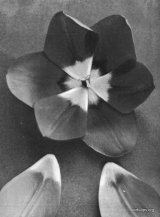 Fig. 8 from the Report of the Tulip Nomenclature Committee, 1914-15: Cottage Tulip � Rose Beauty.