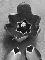 Fig. 9 from the Report of the Tulip Nomenclature Committee, 1914-15: Cottage Tulip � Cleopatra.