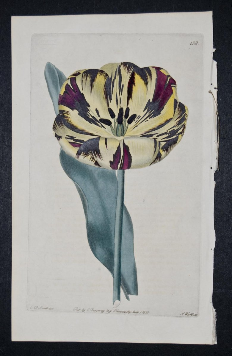Burnard's Agitator Tulip - an extinct English Florists tulip.