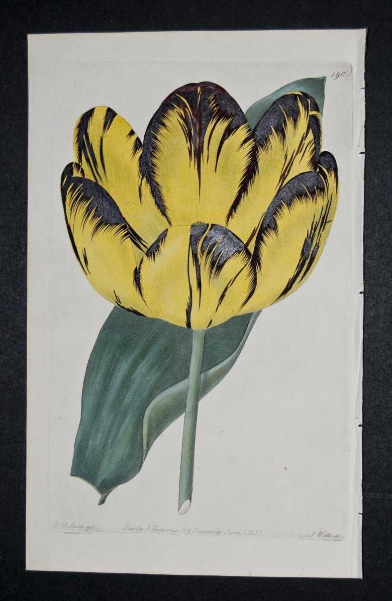 Caledonian Hero Tulip - an extinct English Florists tulip.