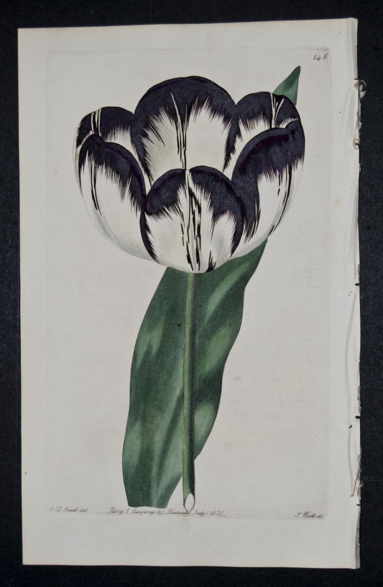 Davey's Trafalgar Tulip - an extinct English Florists tulip.
