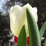 Diana, 1909, Single Early Tulip