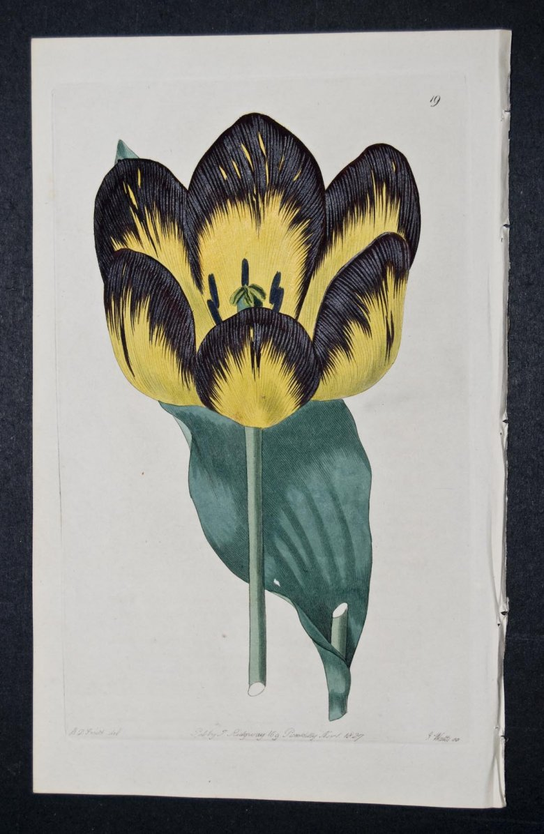 Don Miguel Tulip - an extinct English FLorists tulip.