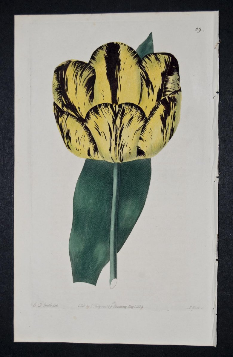 George the Fourth Tulip - an extinct English FLorists tulip.