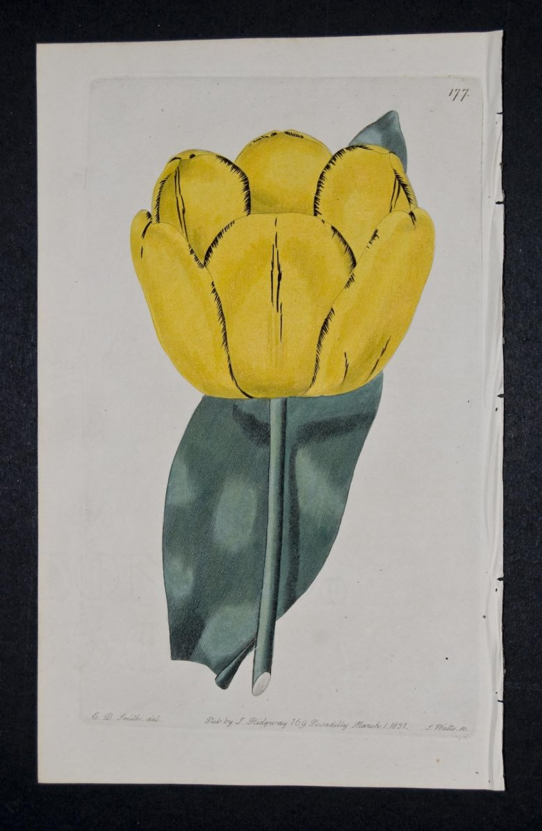 Gloria Mundi Tulip - an extinct English FLorists tulip.