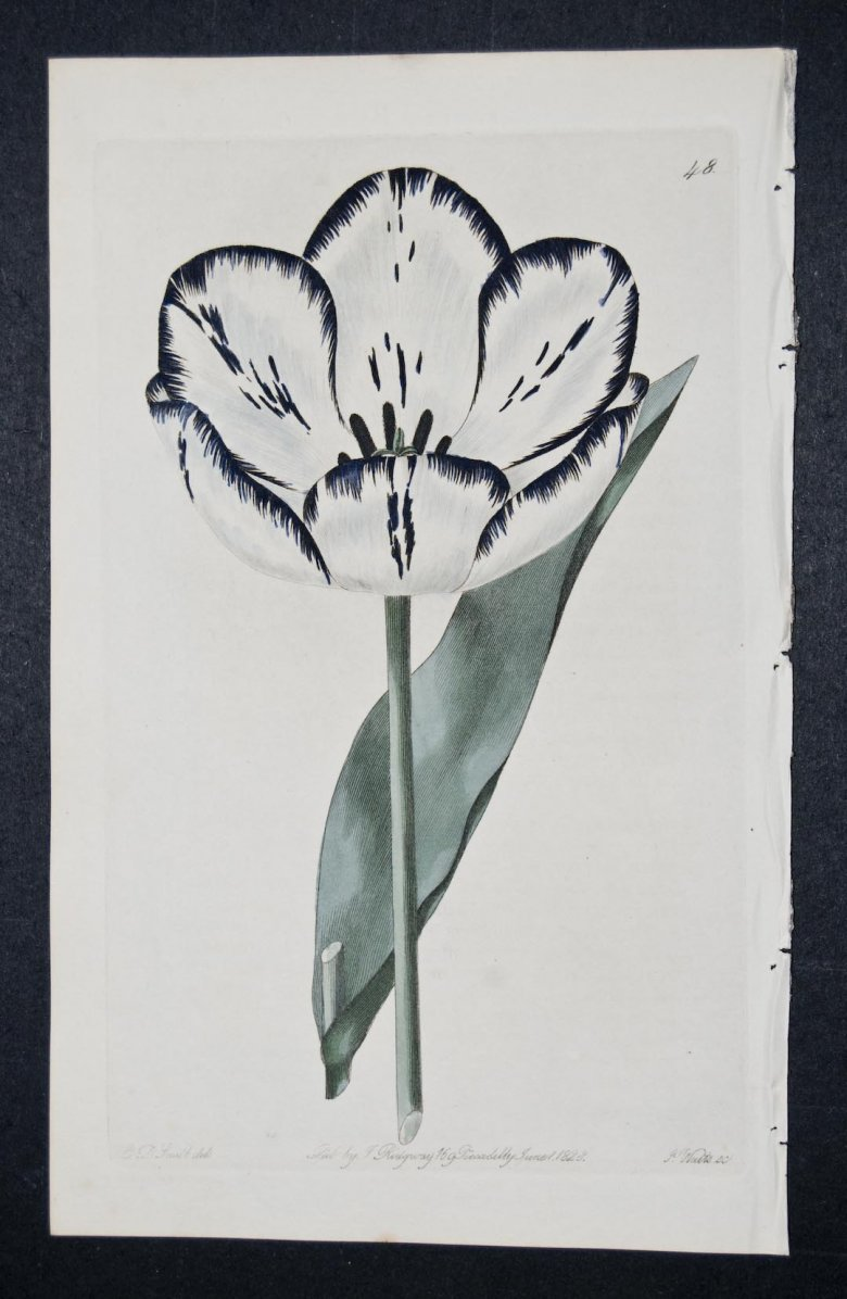 Goldham's Maria Tulip - an extinct English Florists tulip.