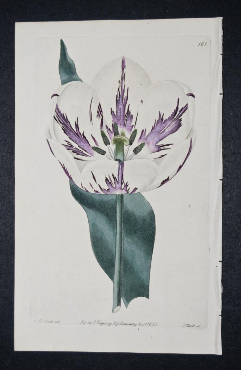 Holme's King Tulip - an extinct English Florists tulip.