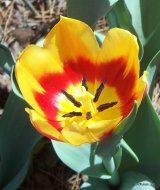 Keizerskroon Tulip, 1750, cup view of Single Early Tulip.