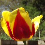 Keizerskroon Tulip, 1750, side view.