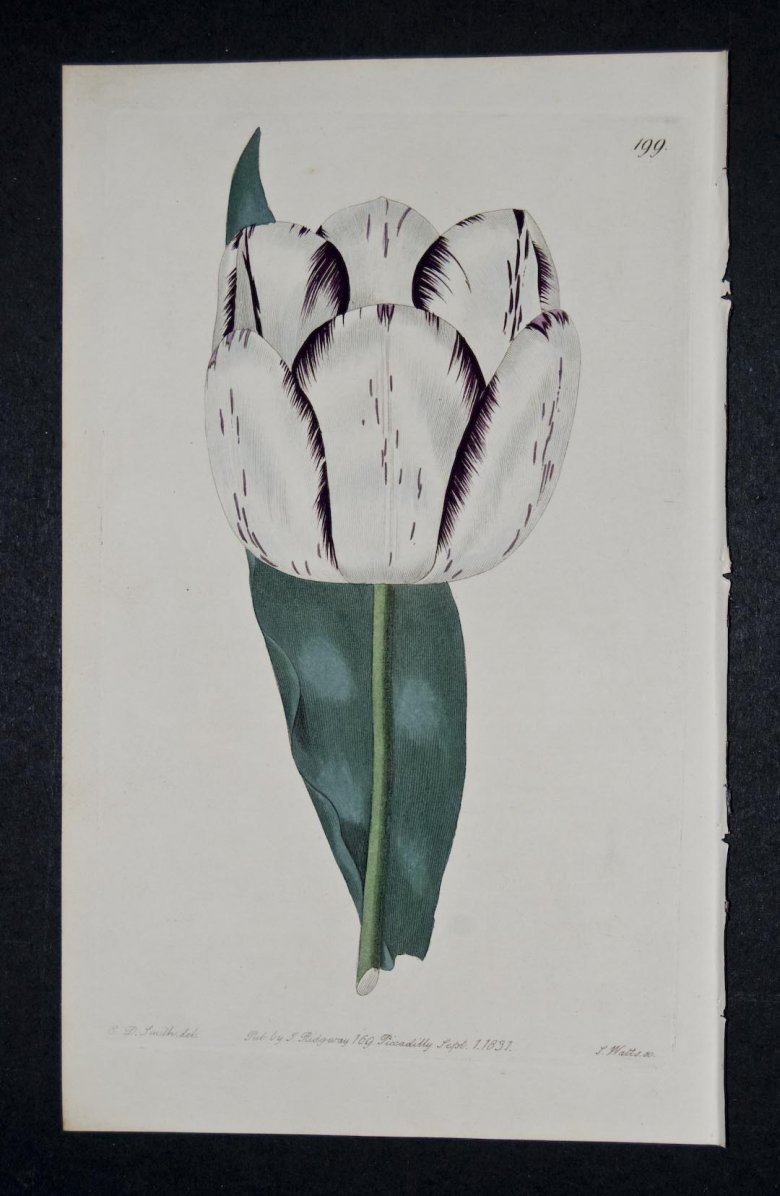 La Virginiti Tulip - an extinct English Florists tulip.