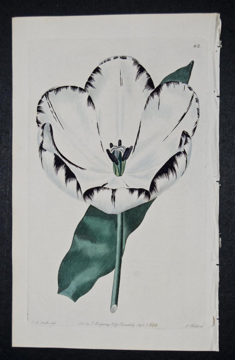Lady of the Lake Tulip - an extinct English Florists tulip.