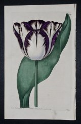 Lancanshire Hero Tulip - an extinct English Florists tulip.