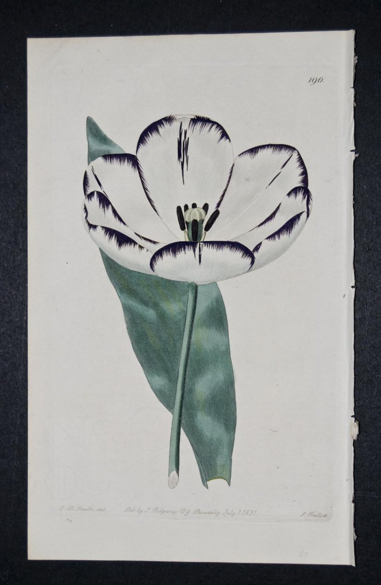 Lawrance's La Joie Tulip - an extinct English Florists tulip.