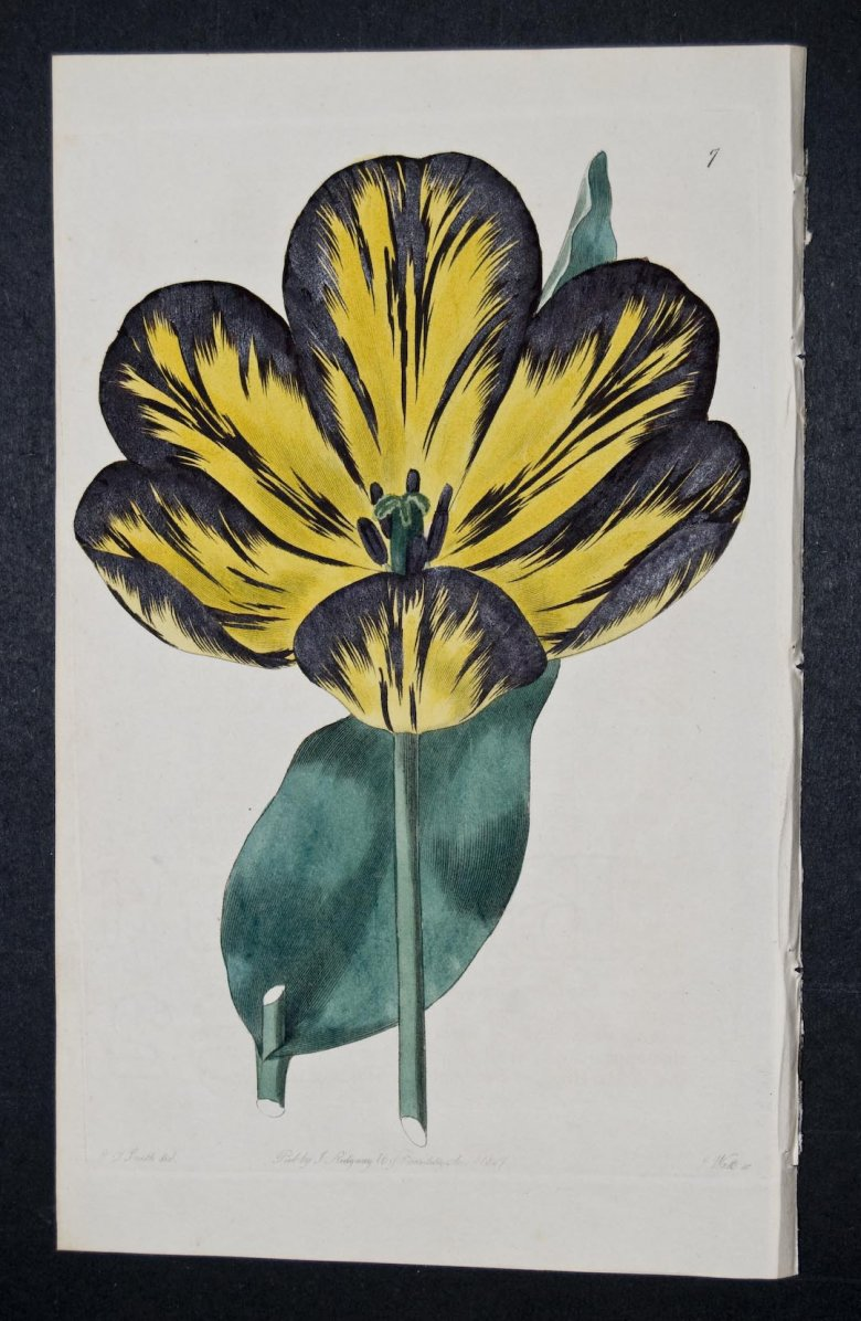 Lawrence's Polyphemus Tulip - an extinct English Florists tulip.