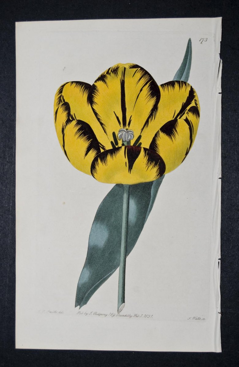 Lord Brougham Tulip - an extinct English Florists tulip.