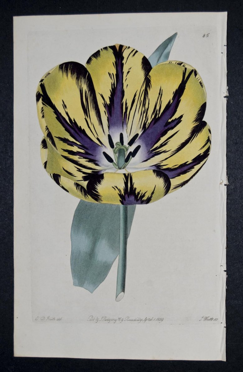 Lord Collingwood Tulip - an extinct English Florists tulip.