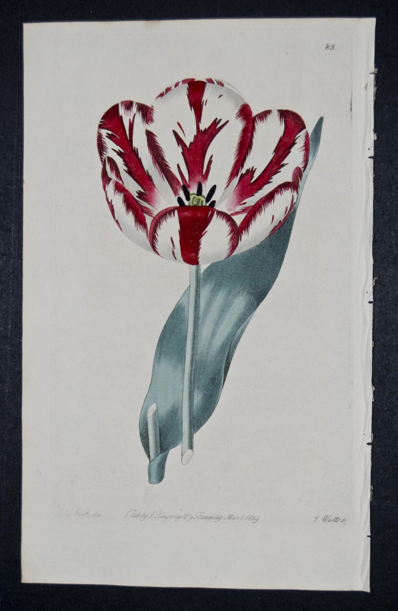 Lord Hill Tulip - an extinct English Florists tulip.