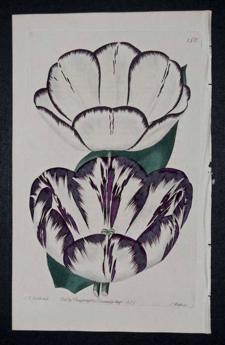 Louis XVI Tulip - an extinct English Florists tulip.