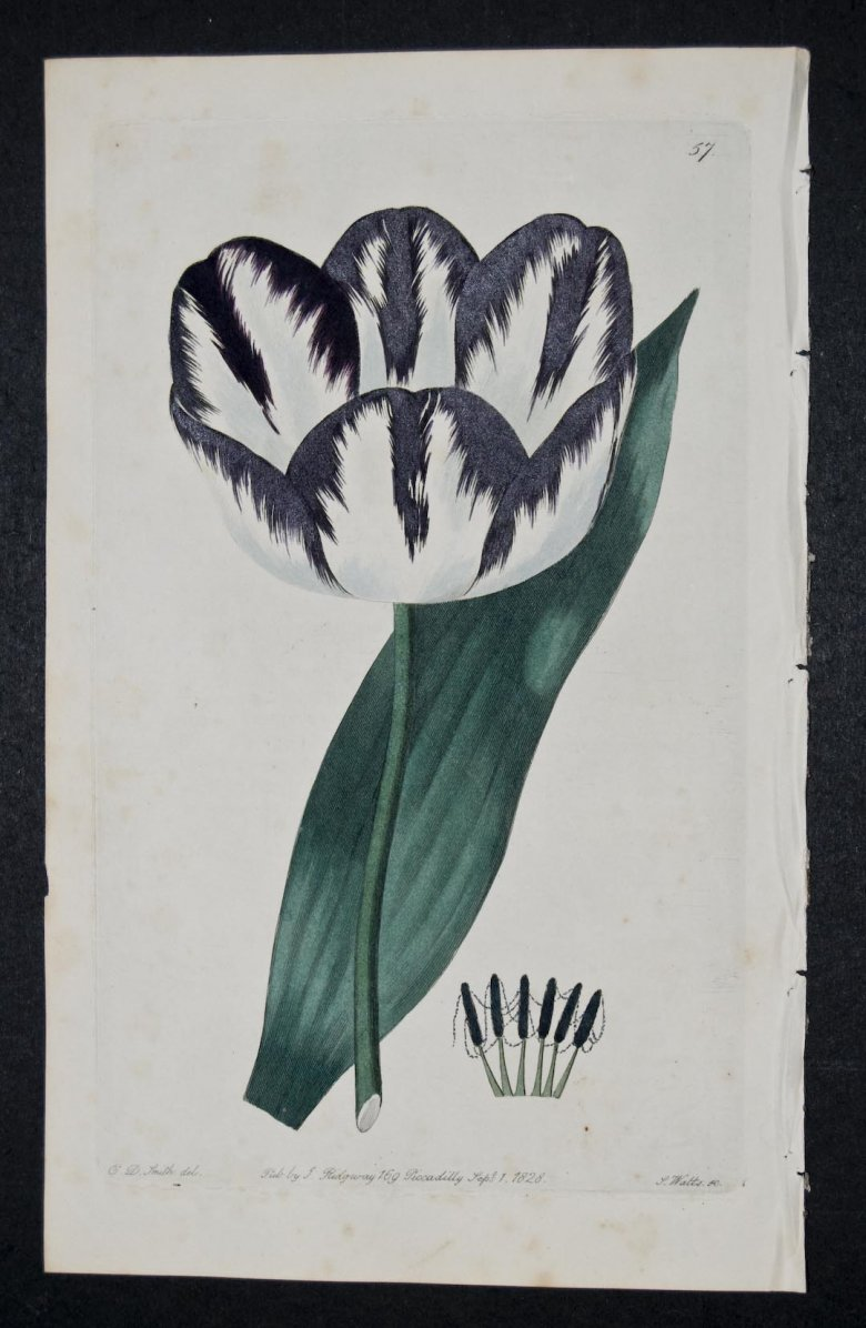 Penelope Tulip - an extinct English Florists tulip.