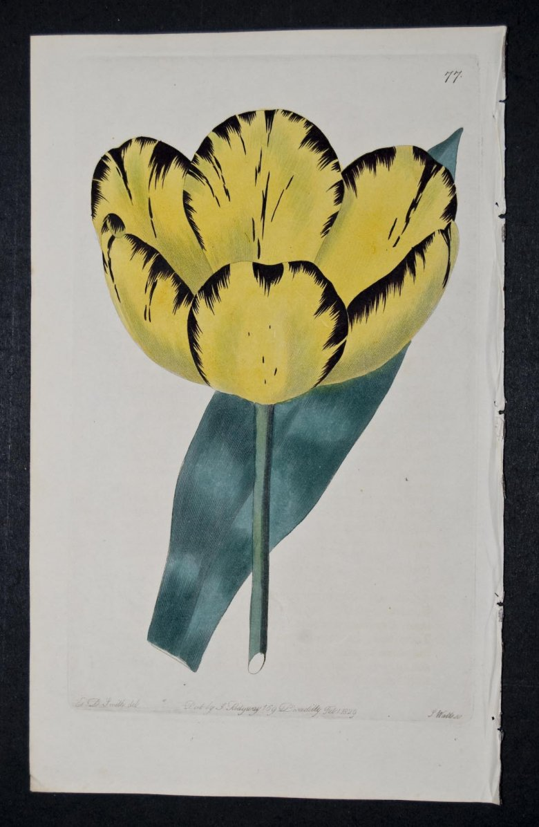 Platonia Tulip - an eextinct English Florists tulip.