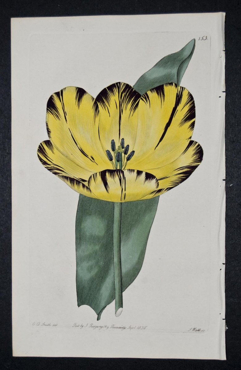 Pompe Funebre Tulip - an extinct English Florists tulip.