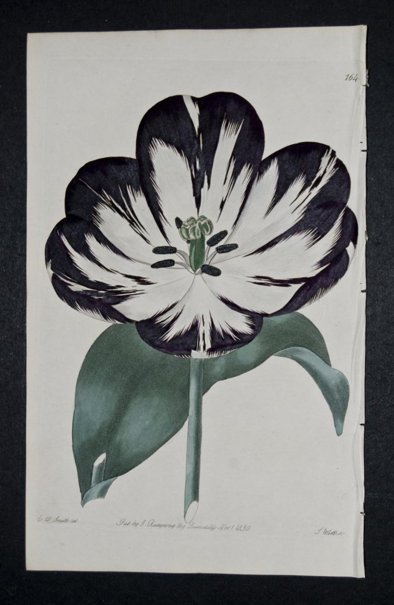 Prince George Tulip - an extinct English Florists tulip.