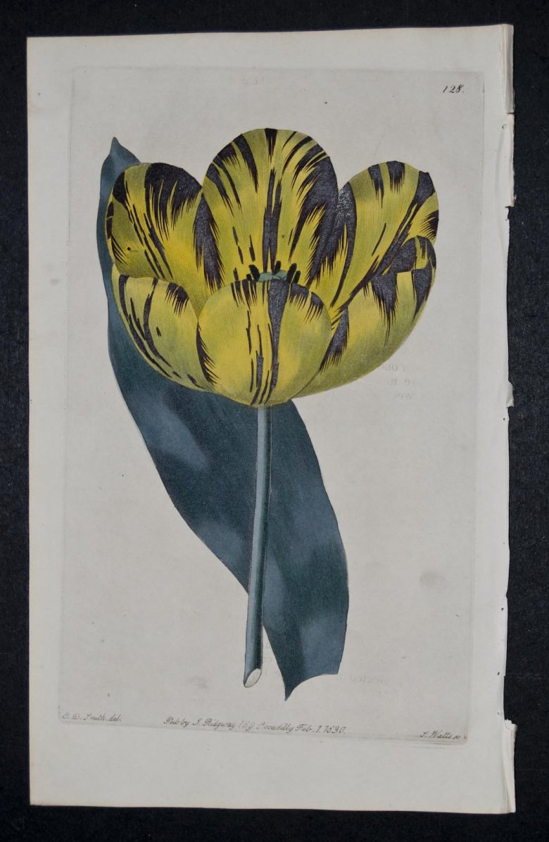 Prince Leopold Tulip - an extinct English Florists tulip.