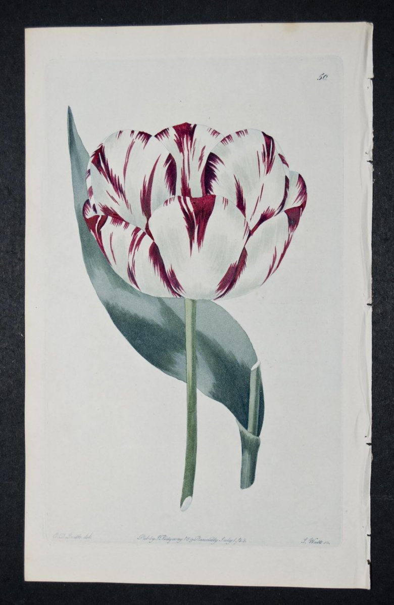 Pucelle d'Orleans Tulip - an extinct English Florists tulip.