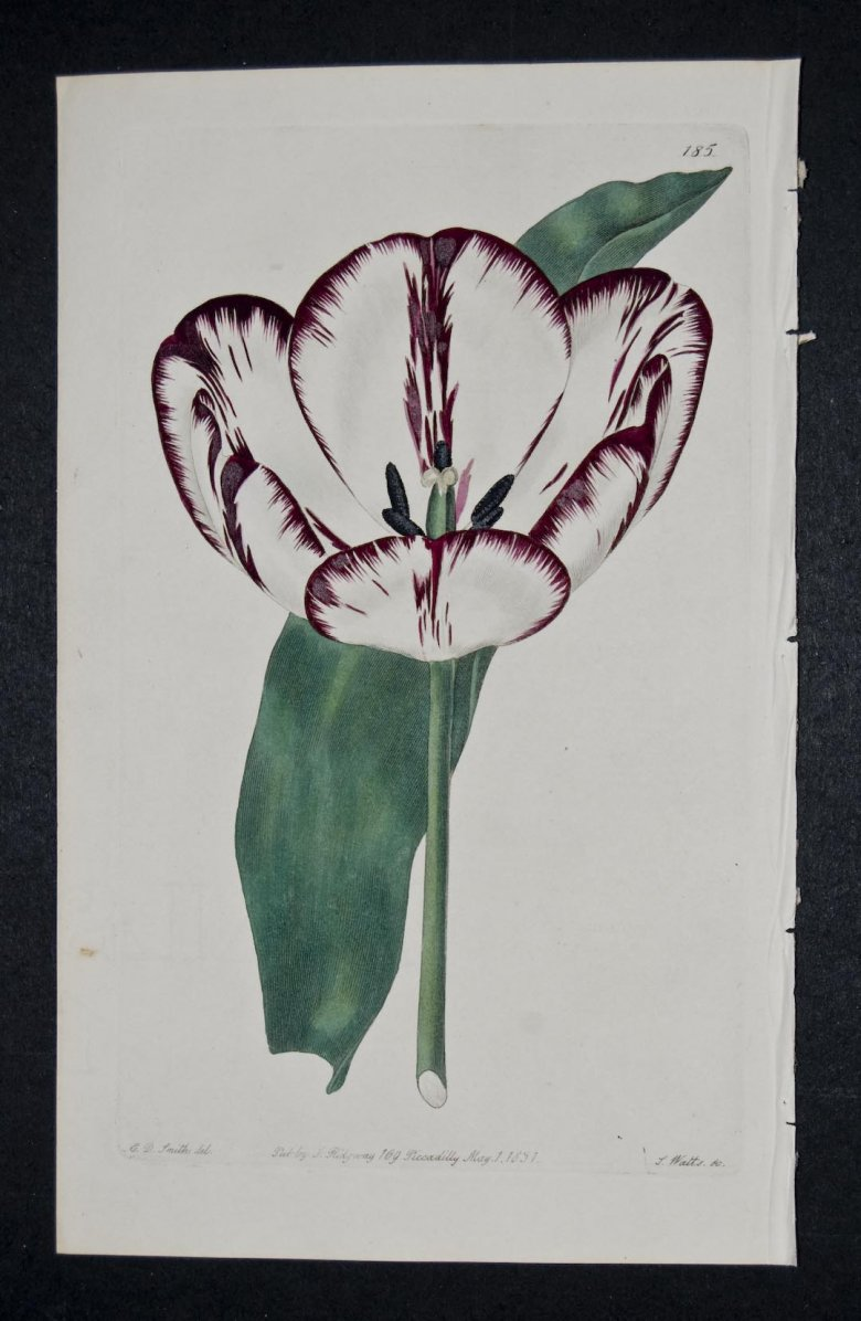 Rose Bacchus Tulip - an extinct English Florists tulip.