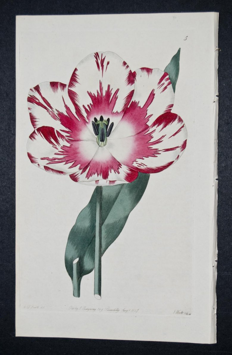 Rose Brillanti Tulip - an extinct English Florists tulip.