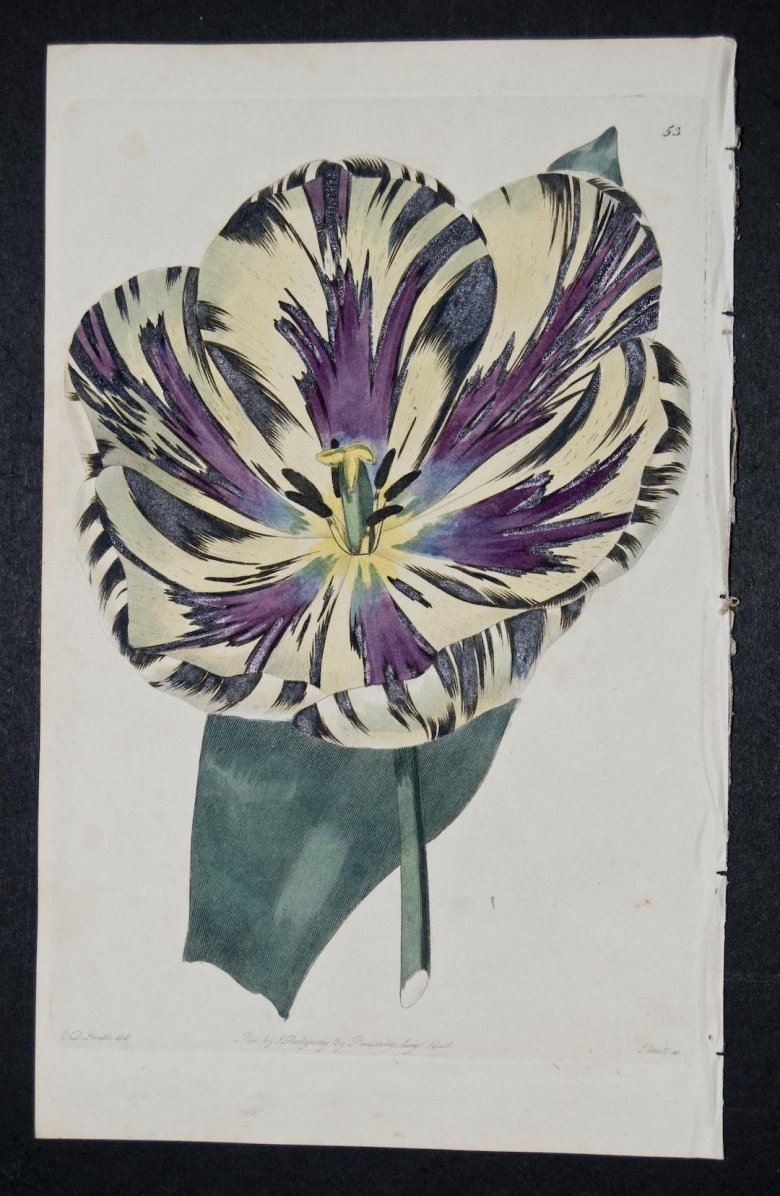 Semplon Tulip - an extinct English Florists tulip.