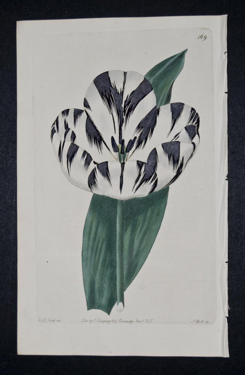 Strong's Esther Tulip - an extinct English Florists tulip.
