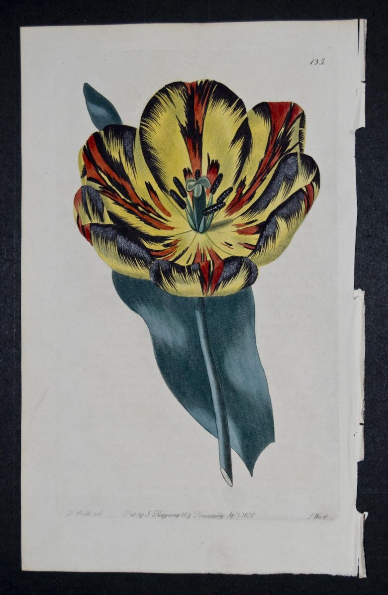 Strong's Canning Tulip - an extinct English Florists tulip.